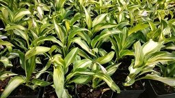 "FUNKIA ""NIGHT BEFORE CHRISTMAS"" (HOSTA)"