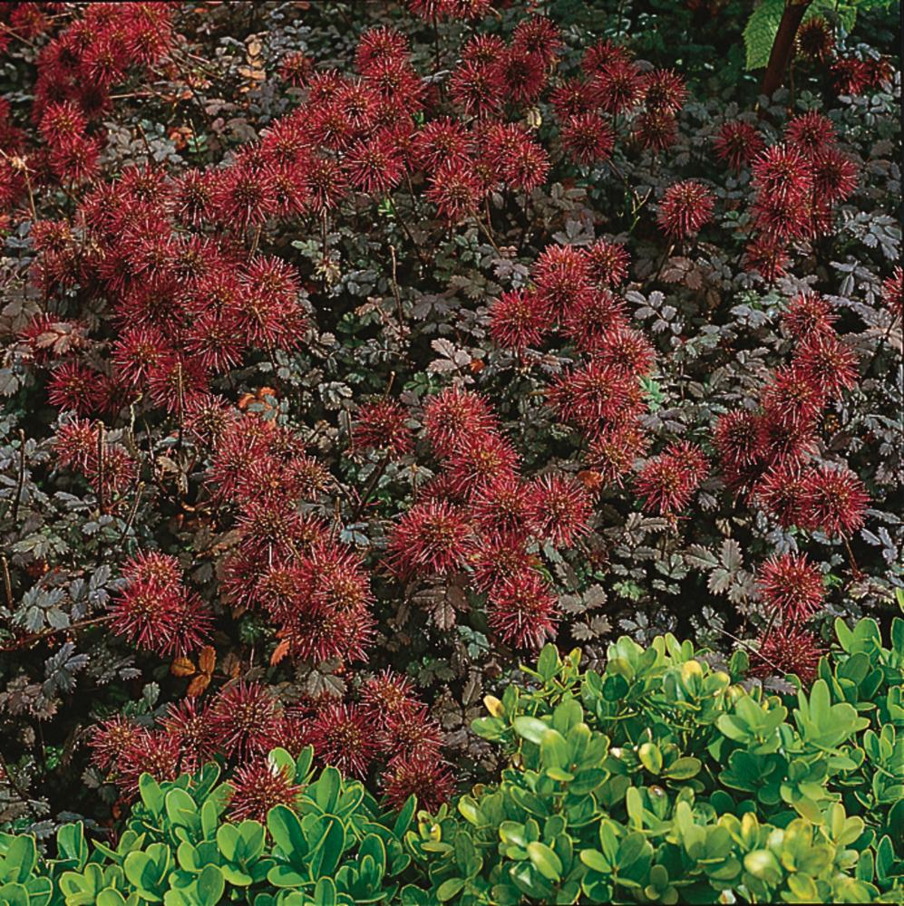 "Acena drobnolistna ""Kupferteppich"" (Acaena microphylla)"