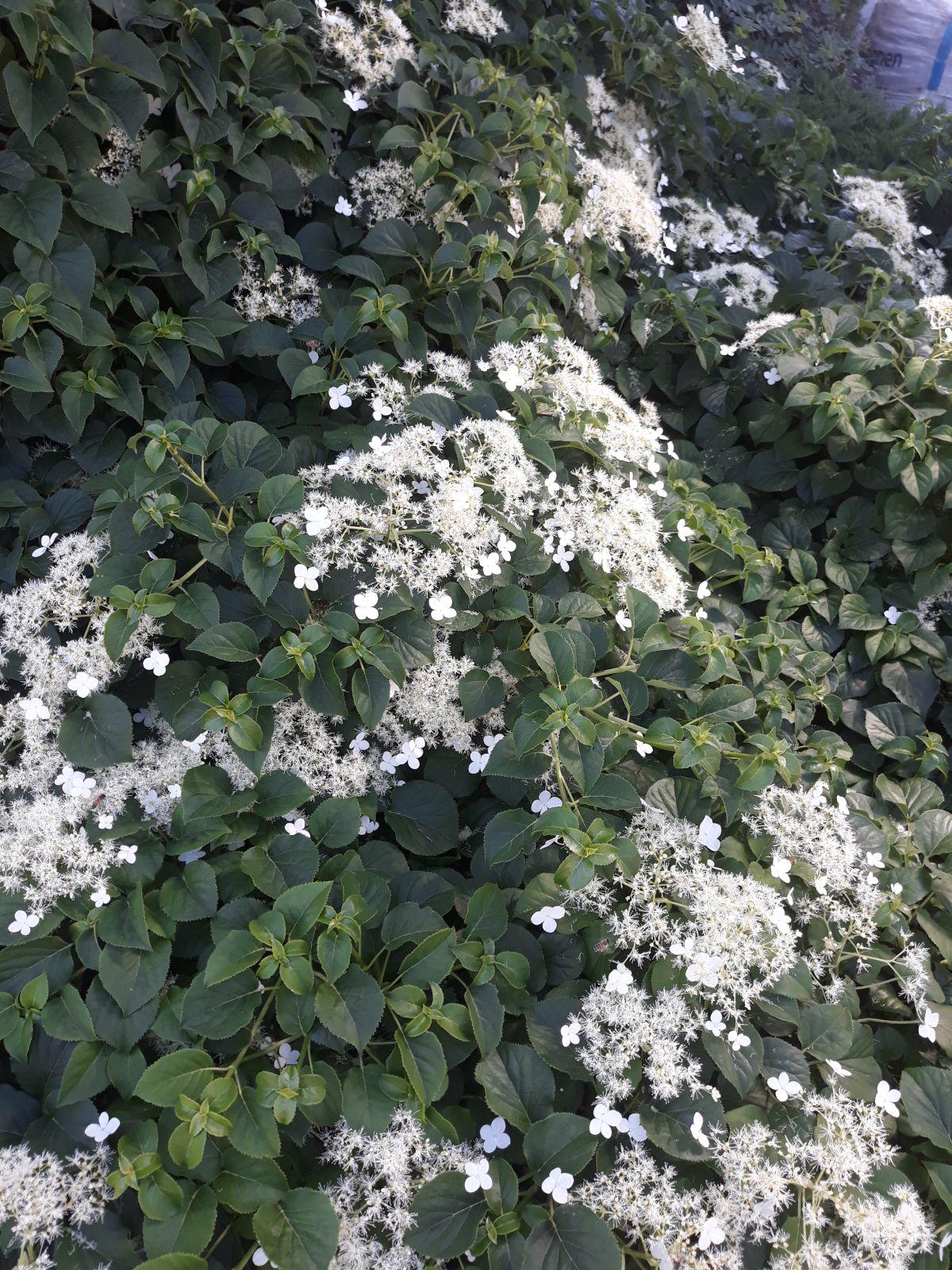 Hortensja Pnąca (Hydrangea Anomala Subs. Petiolaris)