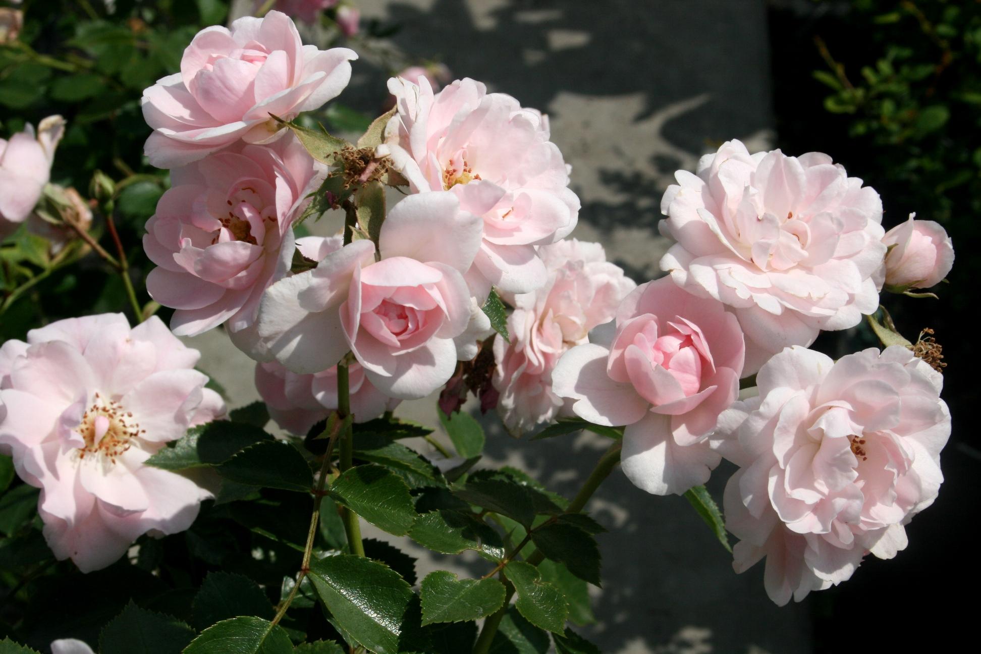 "Róża Rabatowa ""Bonica"" (Rosa)"