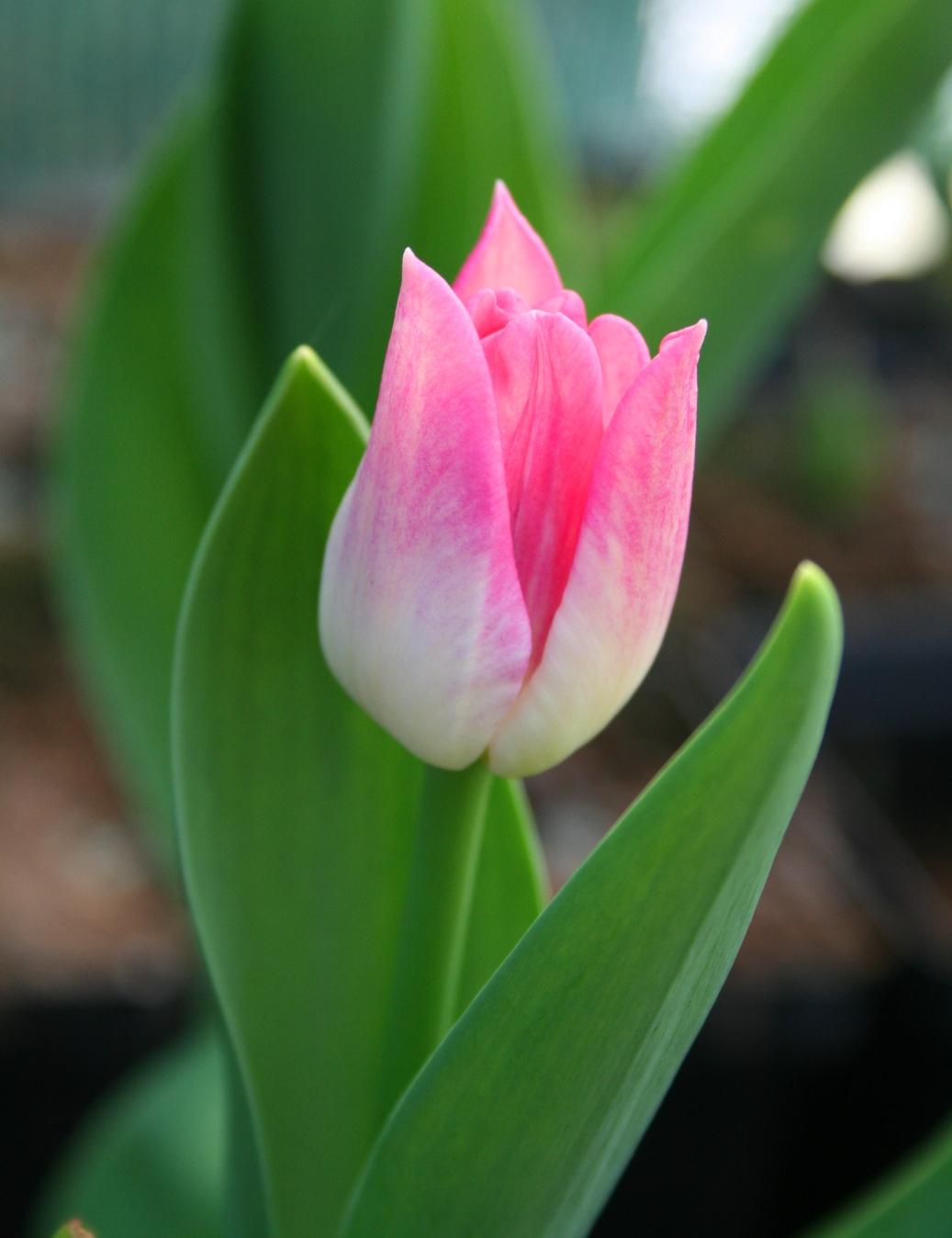 Tulipan Picture Tulipa Picture Rośliny Ozdobne Krzewy Ozdobne Szk 243 łka Ogrodnicza
