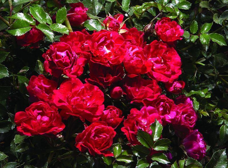 Róża Okrywowa Drift