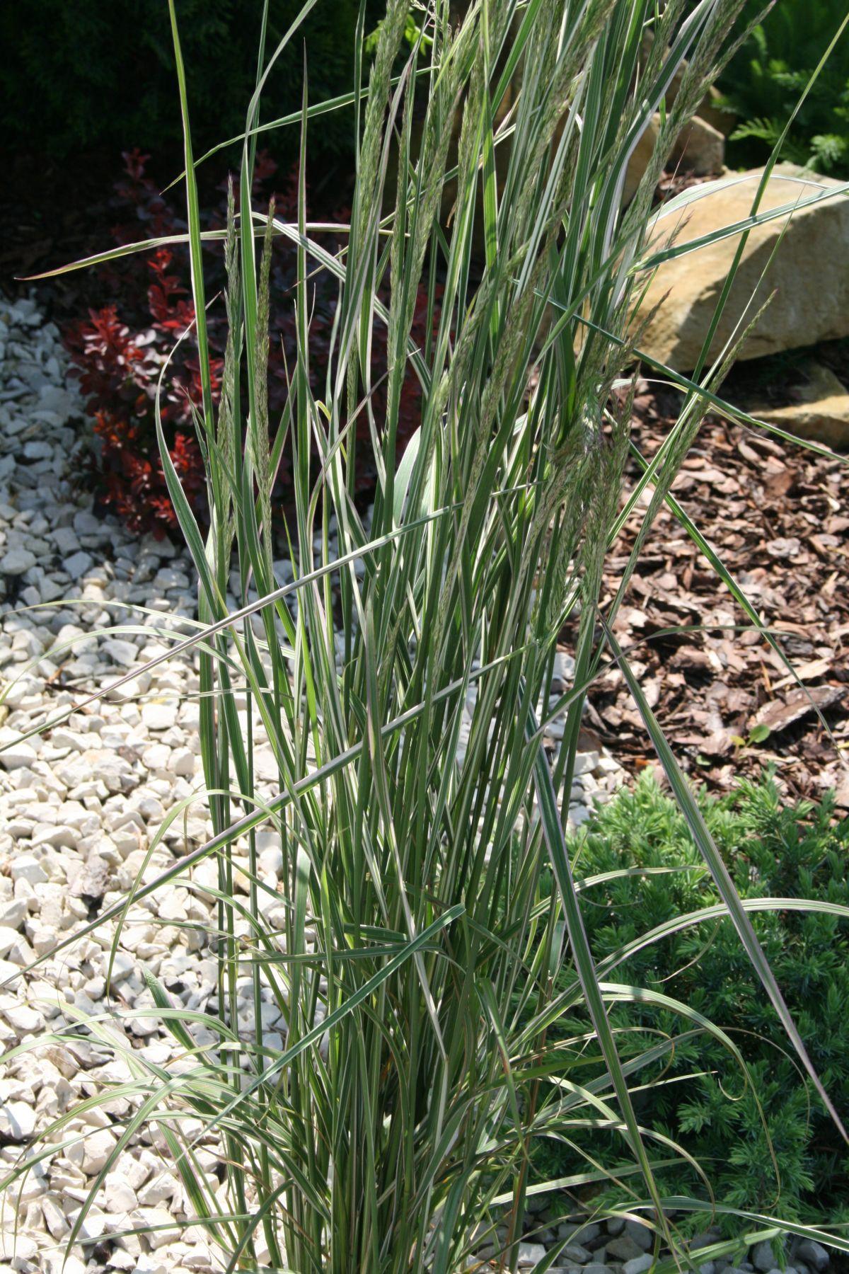 """Trzcinnik Ostrokwiatowy """"Overdam"""" (Calamagrostis x Acutiflora )"""