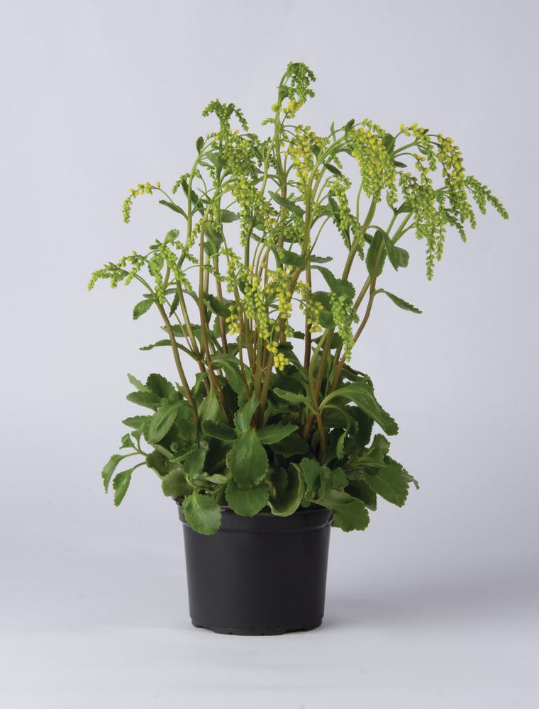 Chiastofil naprzeciwlistny (Chiastophyllum oppositifolium)