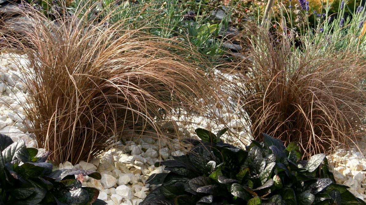 """Turzyca Włosista """"Bronco"""" ( Carex Comans )"""