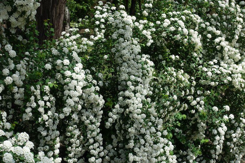 Tawuła Van Houtte`a  (Spiraea Vanhouttei)