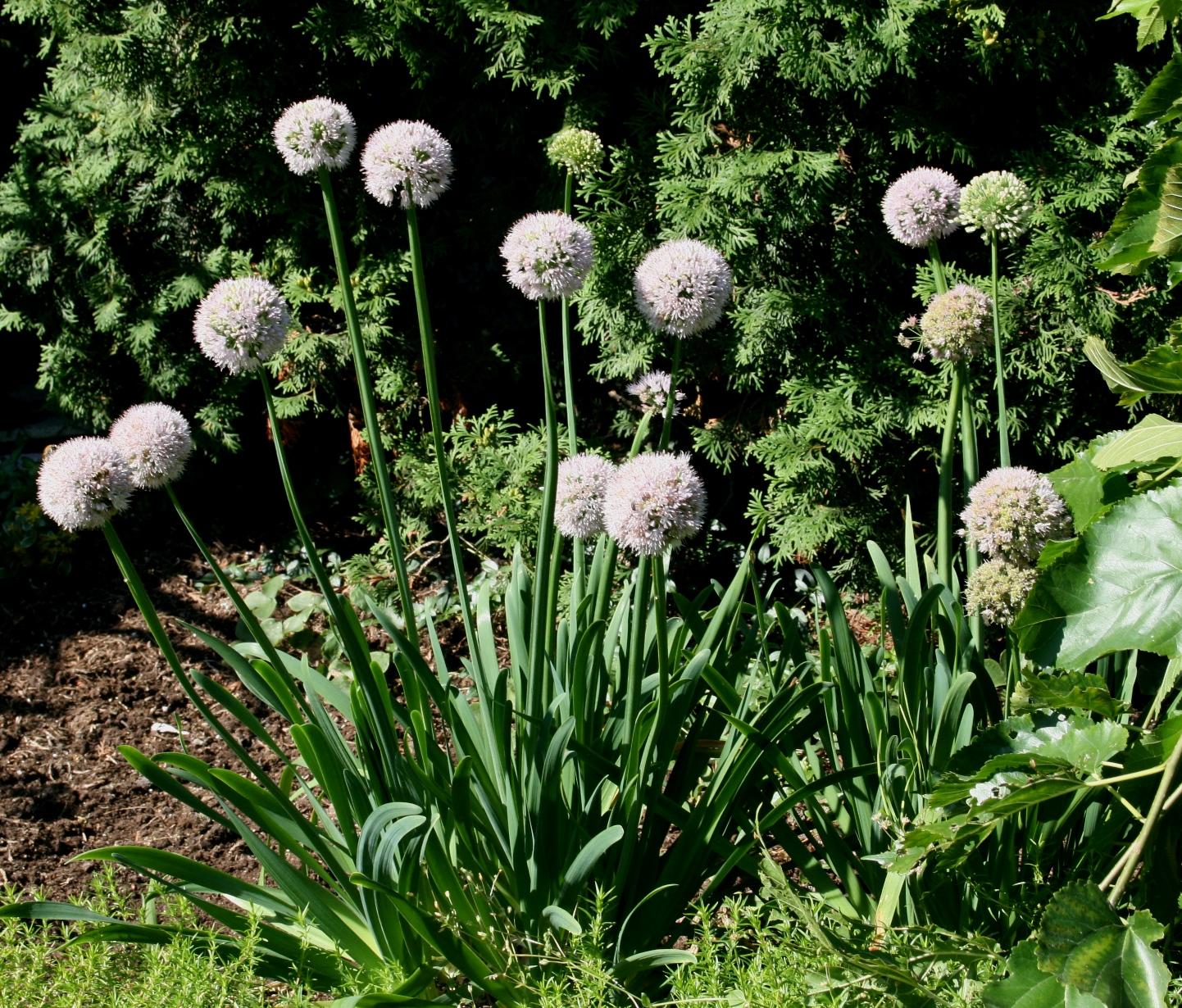 Czosnek Ogrodowy (Allium)